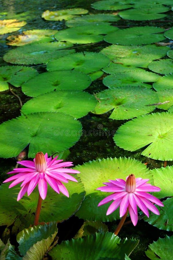Cor-de-rosa de encontro aos verdes fotos de stock