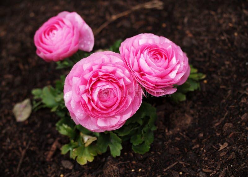 Cor-de-rosa do ranúnculo fotos de stock royalty free