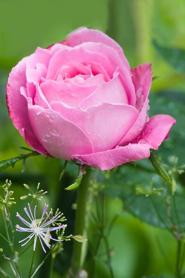 A cor-de-rosa e muito perfumado levantaram-se fotografia de stock