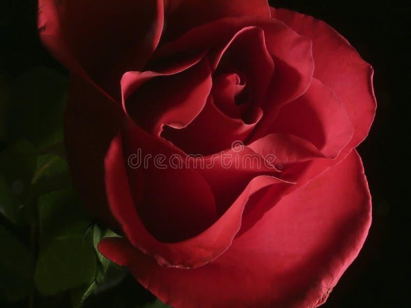 A Cor-de-rosa Escura Levantou-se Imagens de Stock Royalty Free