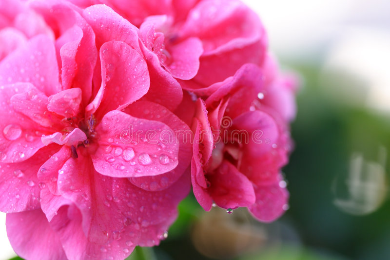 A cor-de-rosa floresce _5 imagens de stock royalty free
