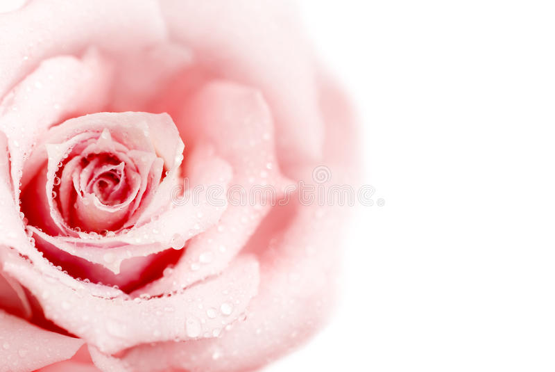 A cor-de-rosa fresca levantou-se imagens de stock royalty free