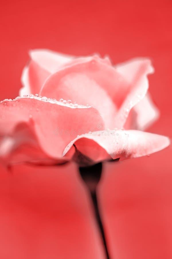 A cor-de-rosa fresca levantou-se fotos de stock