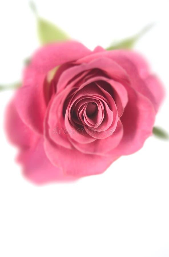 Download A cor-de-rosa levantou-se foto de stock. Imagem de de, levantou - 102546