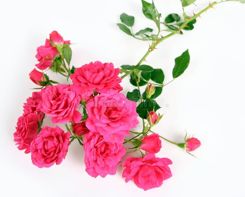 A cor-de-rosa levantou-se. imagem de stock royalty free