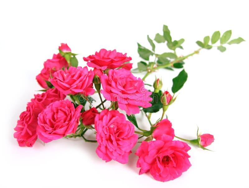 A cor-de-rosa levantou-se. foto de stock
