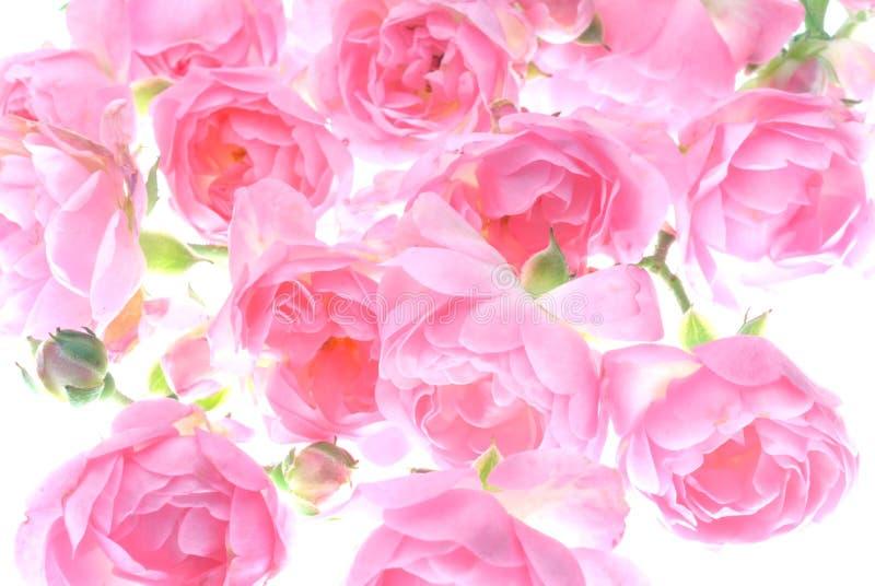 A cor-de-rosa levantou-se imagens de stock royalty free