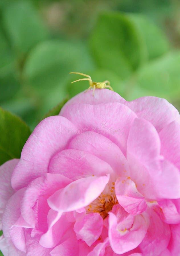 A cor-de-rosa levantou-se aranha fotografia de stock