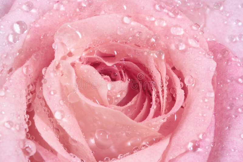 A cor-de-rosa levantou-se com gotas fotografia de stock