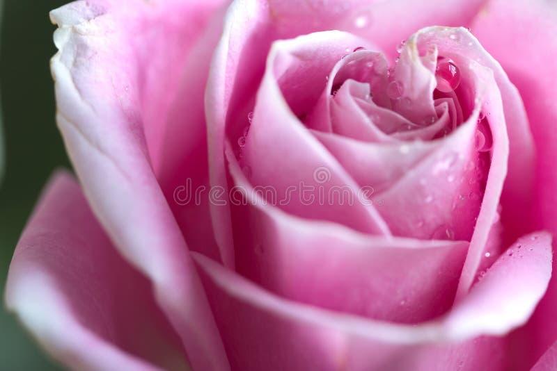 A cor-de-rosa levantou-se com gotas da água foto de stock royalty free