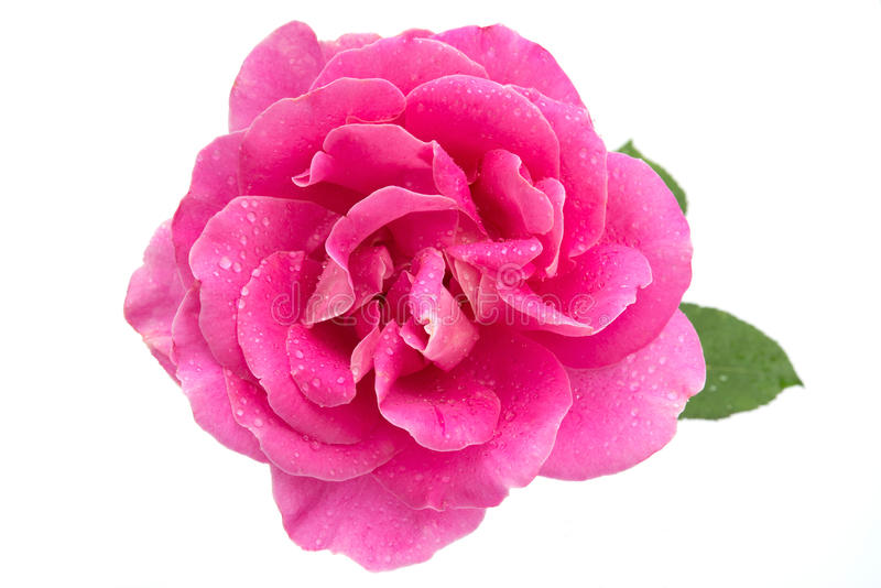 A cor-de-rosa levantou-se com gotas de água foto de stock