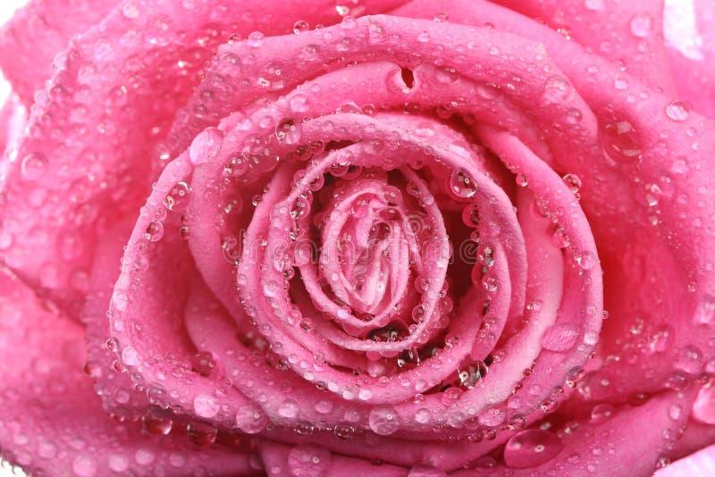 A cor-de-rosa levantou-se com orvalho foto de stock