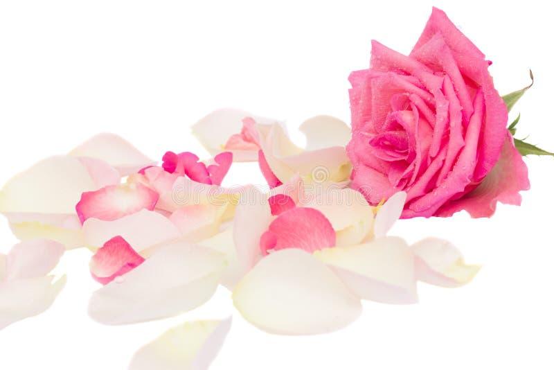 A cor-de-rosa levantou-se com pétalas fotos de stock royalty free