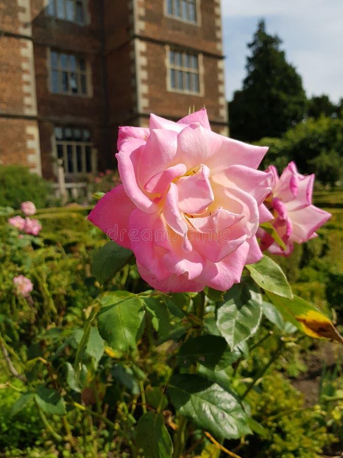 A cor-de-rosa levantou-se em um jardim fotos de stock royalty free
