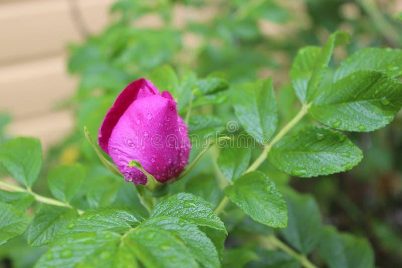 A cor-de-rosa levantou-se em um jardim imagens de stock royalty free