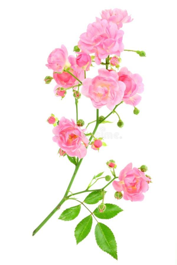 A cor-de-rosa levantou-se no branco. fotos de stock