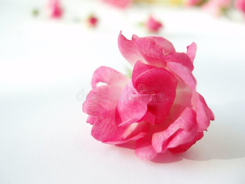 A cor-de-rosa levantou-se no fundo branco fotografia de stock royalty free