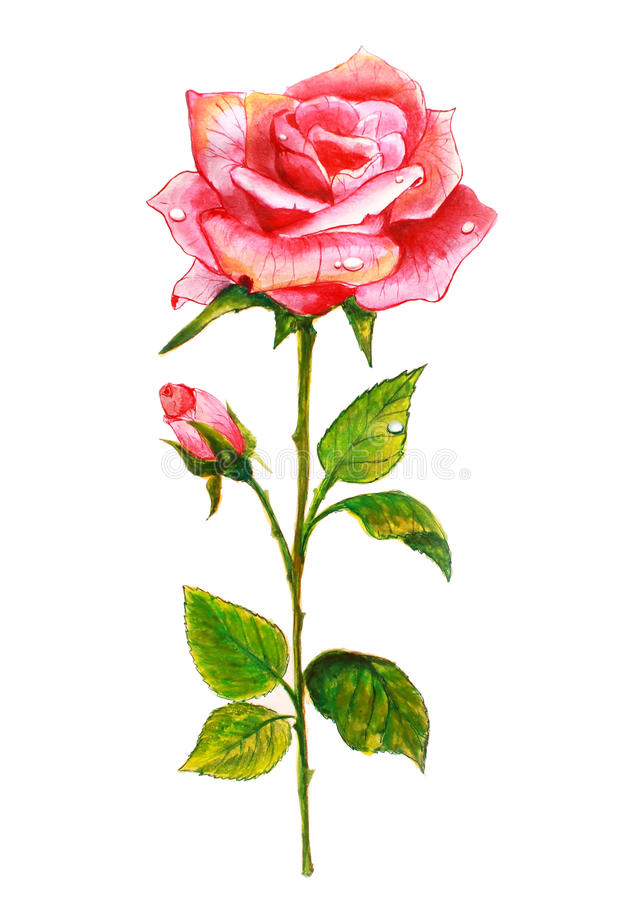 A cor-de-rosa levantou-se. Pintura da aguarela. ilustração do vetor