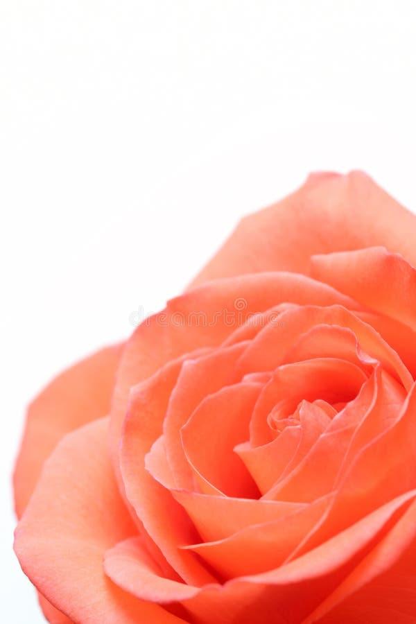 A cor-de-rosa levantou-se sobre o branco foto de stock royalty free
