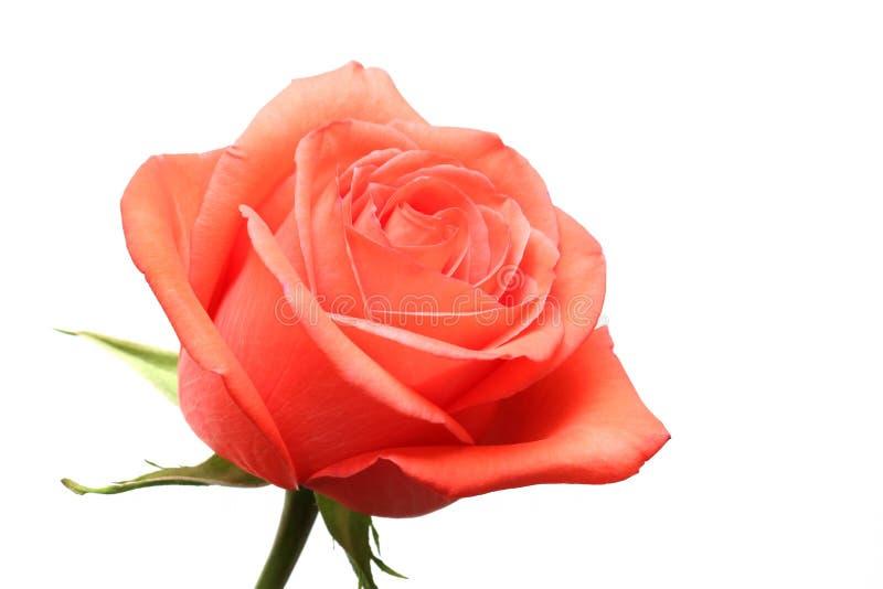 A cor-de-rosa levantou-se sobre o branco imagem de stock royalty free