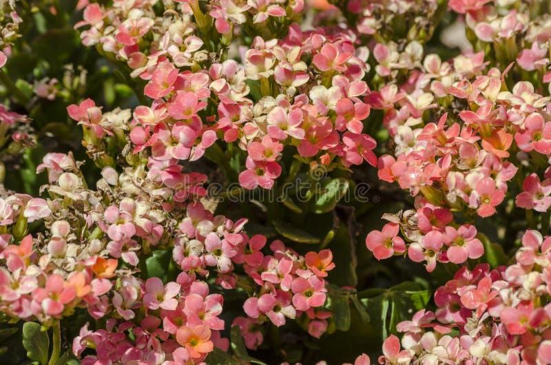 A cor-de-rosa pequena floresce o fundo fotografia de stock