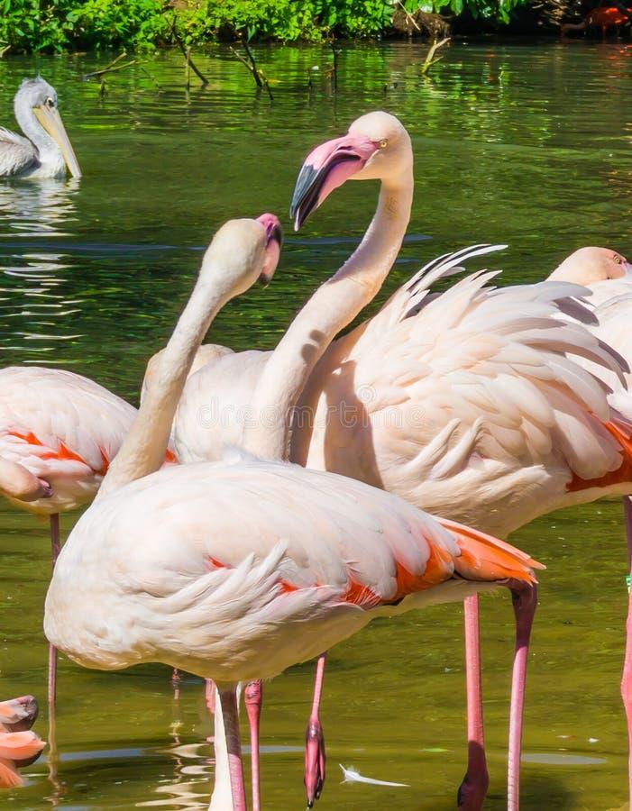 ` Cor-de-rosa s do flamingo dois que interage um com o otro em uma paisagem do lago da água fotografia de stock royalty free