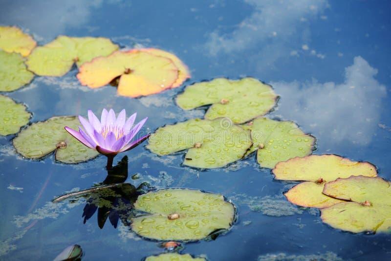 Cor-de-rosa waterlily foto de stock royalty free