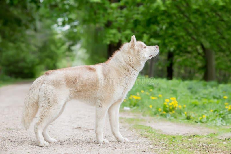 Cor do cinza do lobo Homem adulto A vista do lado foto de stock