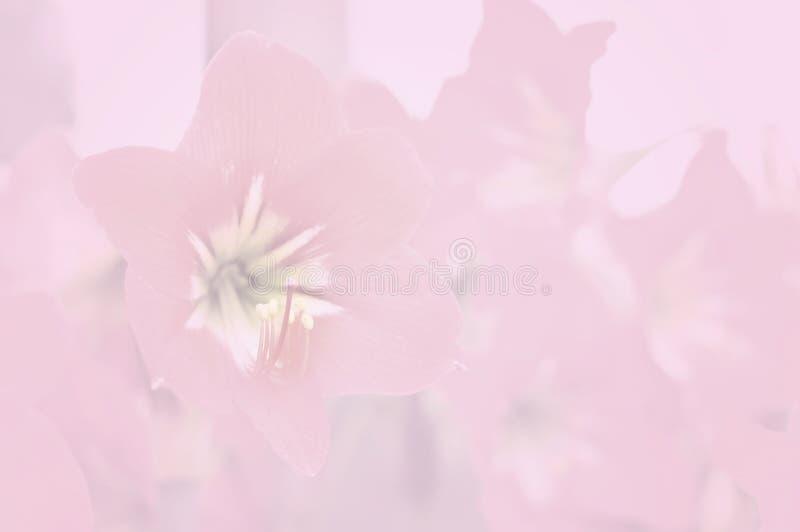 Cor do lírio do Amaryllidaceae e estilo macios do borrão imagens de stock royalty free