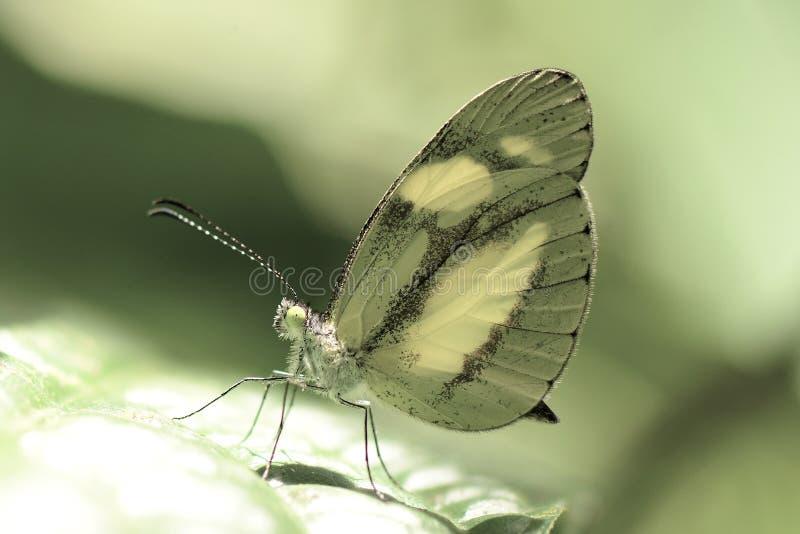 Cor do limão da borboleta fotos de stock royalty free