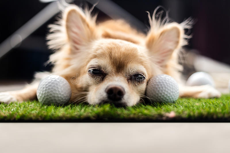 Cor do marrom do cão da chihuahua que dorme ao lado da bola de golfe na GR verde fotos de stock