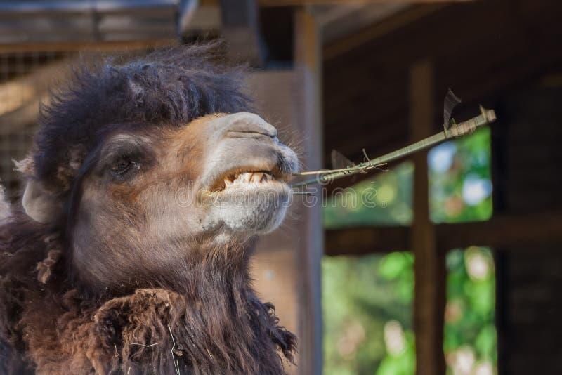 Cor do marrom escuro do camelo do retrato um, dentes visíveis, boca aberta fotografia de stock