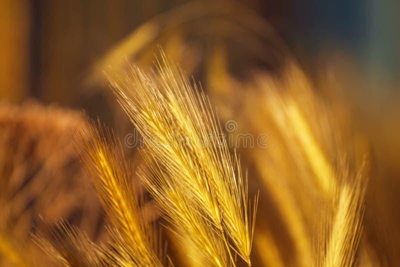 Cor do ouro dos Spikelets, fundo backlit, natural do verão, blurre fotografia de stock