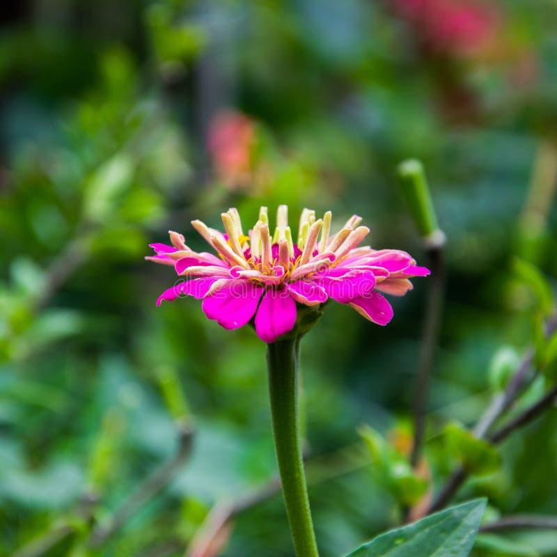 A cor do rosa do ynicism do  da flor Ñ no jardim Fim cor-de-rosa de florescência do cinismo, vista lateral fotos de stock royalty free