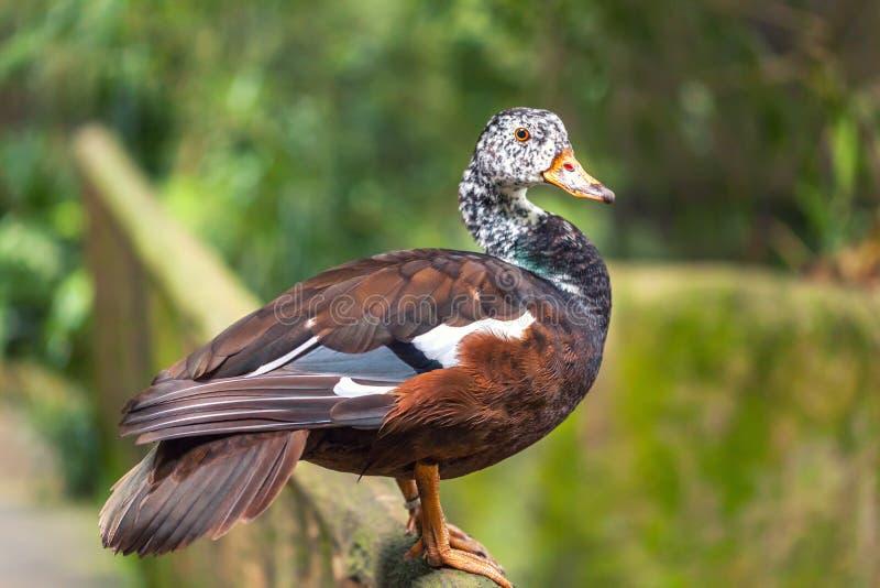 A cor marrom de assobio dos patos ou dos patos da árvore com cabeça branca imagens de stock royalty free