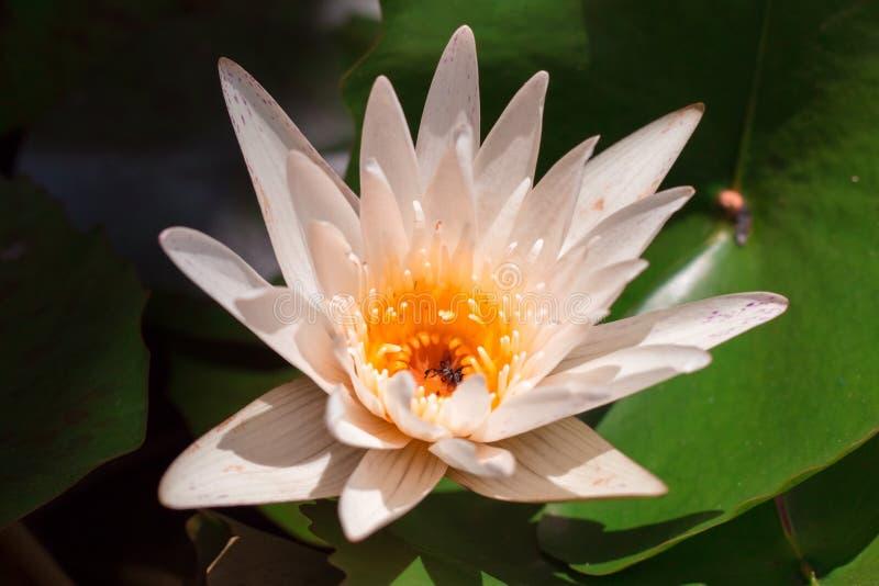 Cor pastel da flor de Lotus ao teste padrão e ao textue criativos fotos de stock royalty free