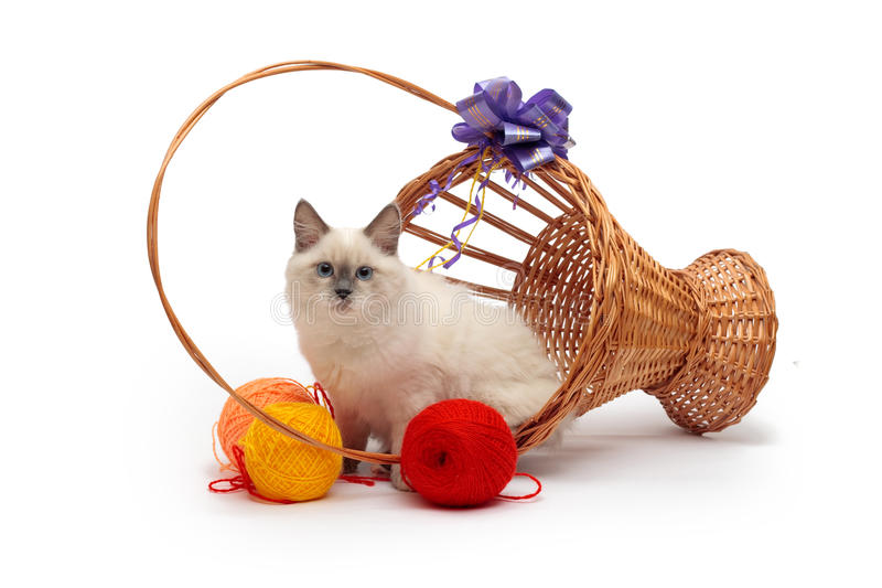 Cor-ponto Siberian do gato na cesta fotos de stock
