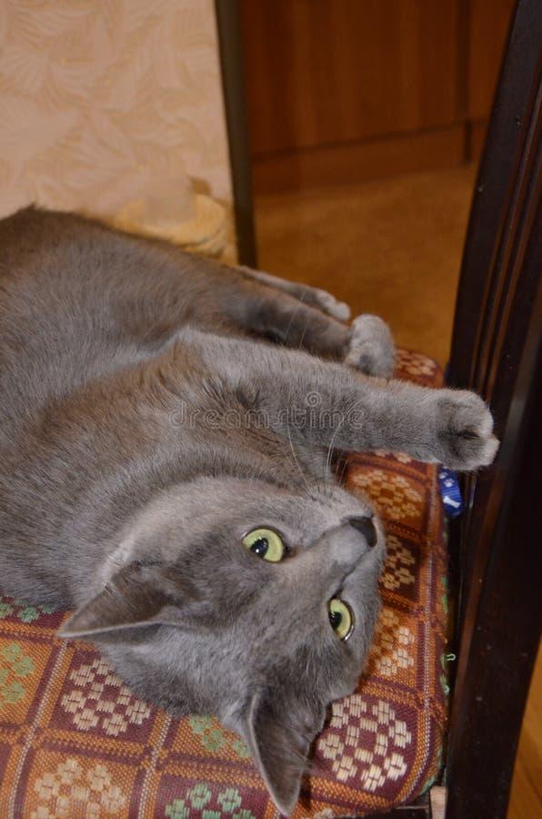 Cor prata-cinzenta do cinza azul do russo da raça do gato com olhos verde-amarelos imagens de stock