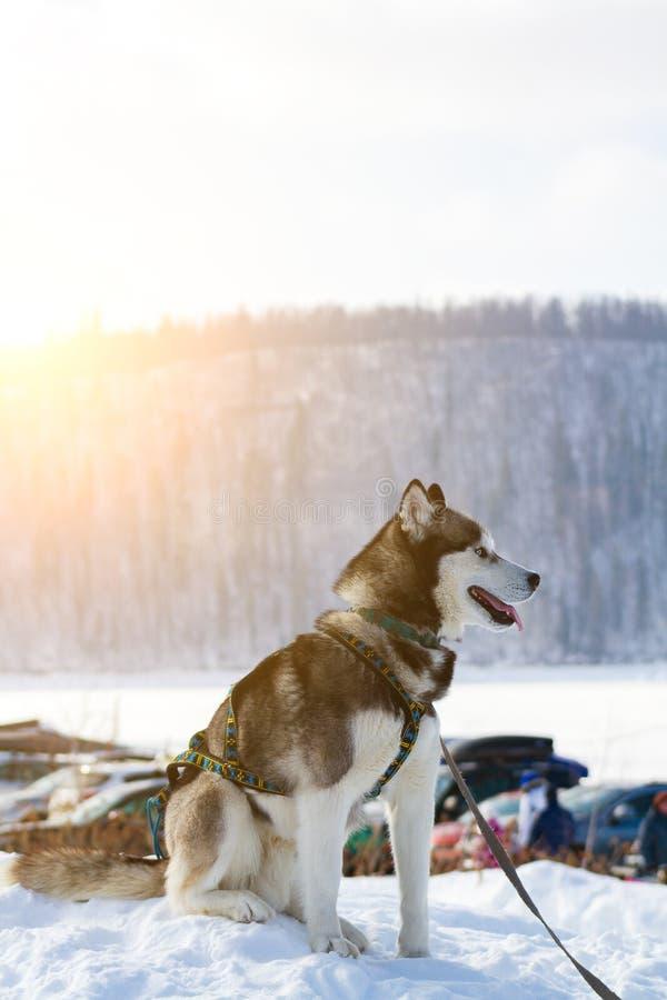Cor preto e branco ronca Siberian do cão no inverno que senta-se na neve imagem de stock