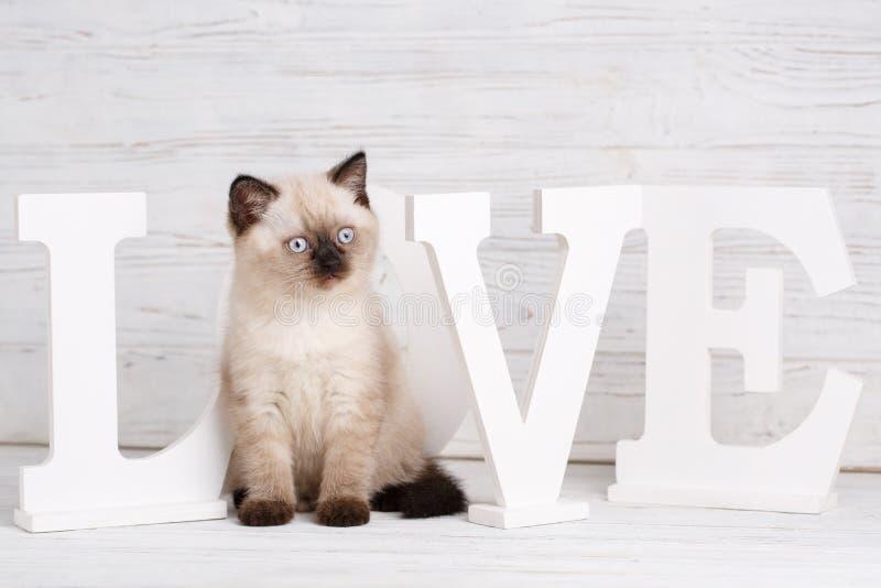Cor reta escocesa do creme do gato Gatinho engraçado com o nariz preto que olha direito Cartão do dia do Valentim fotografia de stock royalty free
