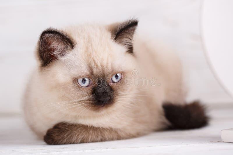Cor reta escocesa do creme do gato Gatinho engraçado com o nariz preto que olha direito foto de stock