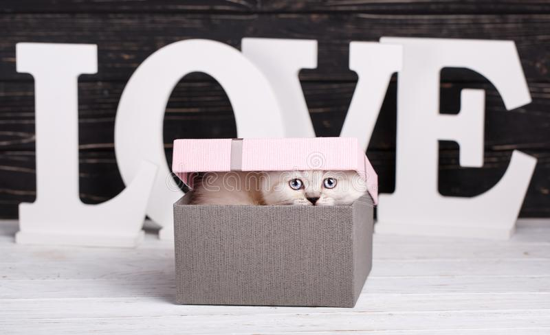 Cor reta escocesa do creme do gato O bichano escondeu atrás das letras Cartão do dia do Valentim fotografia de stock royalty free