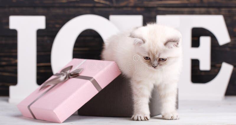 Cor reta escocesa do creme do gato O gatinho senta-se em uma caixa de presente Cart?o do dia do Valentim fotografia de stock royalty free