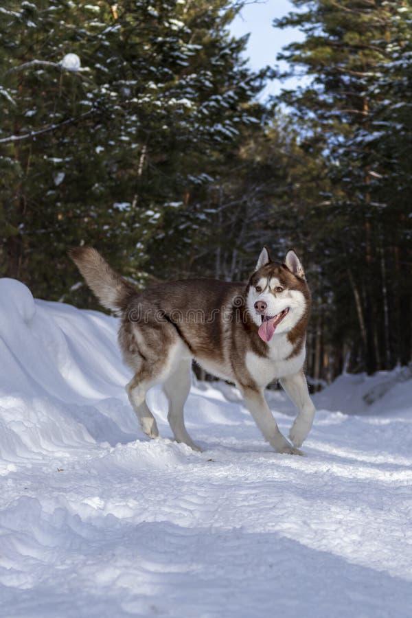 Cor ronca Siberian do marrom do cão na floresta do winer na neve imagem de stock royalty free
