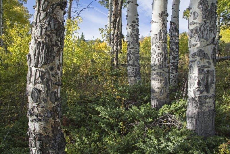 Cor Scarred das árvores de Aspen da casca e da queda imagens de stock royalty free
