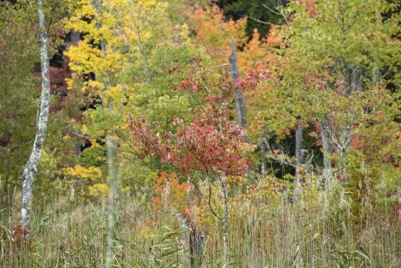Cor sutil do outono no pântano na cavidade de Bigelow fotos de stock