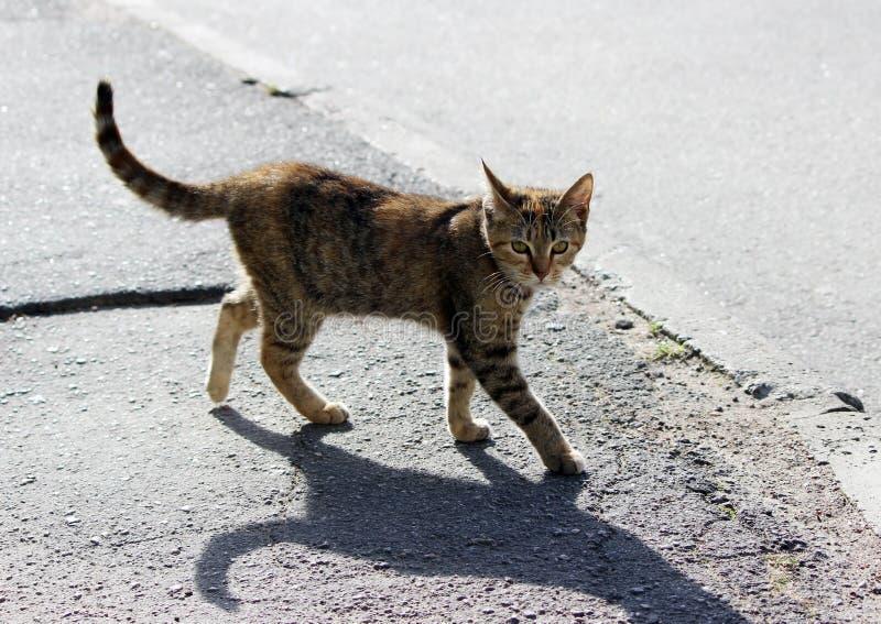a cor tricolor da concha de tartaruga dispersa só do gato é o asfalto no passeio foto de stock royalty free