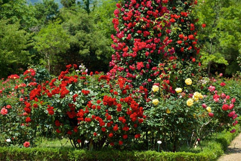A cor vermelha bonita aumentou florescido no jardim imagem de stock royalty free