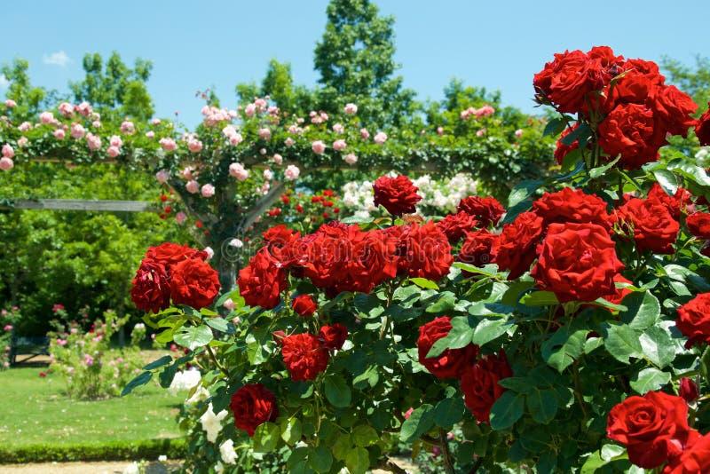 A cor vermelha bonita aumentou florescido no jardim fotos de stock royalty free