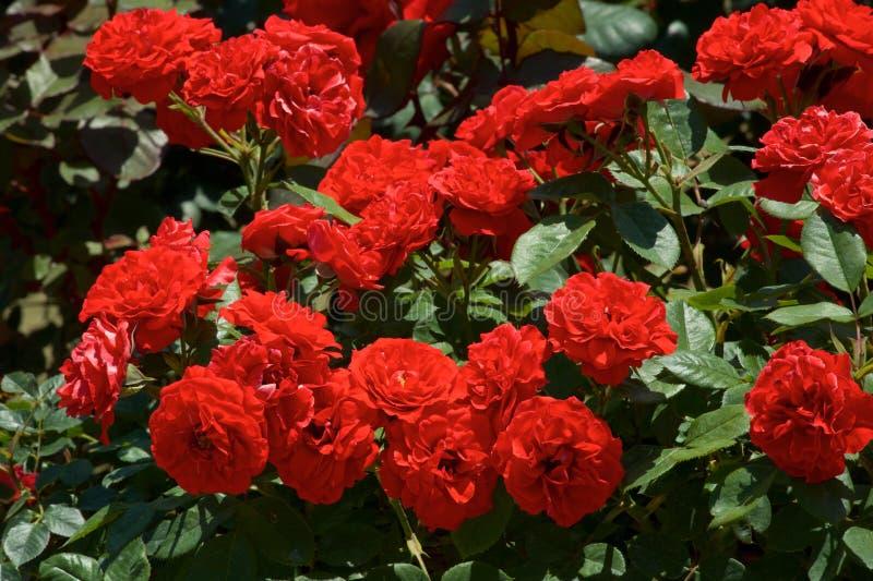 A cor vermelha bonita aumentou florescido no jardim imagem de stock